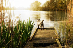 Little dog, wants to be friends with everyone. (pentlandpirate) Tags: dog lake reeds miniature swan cheshire schnauzer capesthorne crappyjetty alittlefemaledogcalleddarcy