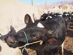 P4162064 (t_y_l) Tags: morocco marokko tinghir suq 2016 tinerhir