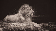 Lion king (leadin2) Tags: wild white black animal sepia cat canon garden zoo big singapore king lion zoological 2015 felidae