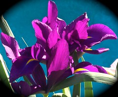 Japanese Iris Vignette <<>> IMG_5830 - Version 2 (chicbee04) Tags: flowers arizona plants white green yellow garden lightandshadows colours purple tucson herbs earlymorning indigo colores northamerica iphoto pinholecamera fx botany effect vignette solarsystem photostream continents milkyway planetearth coulors japaneseiris pastelcolors thenewworld southwesternusa theamericas spiralgalaxy starsol ouruniverse galacticcluster iphoneography northcentralandsouthamerica imagepostprocessing