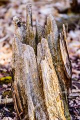 Stump Along The River (vernonbone) Tags: park lens outside nikon sigma morningside highlandcreek d3200 april2016