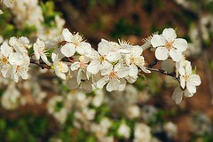 Blossom (Senol Demir) Tags: flower spring blossom ngc bahar iek kastamonu concordians
