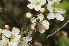 Episyrphus balteatus (Cefn Ila) Tags: insect fly hoverfly blackrock episyrphusbalteatus