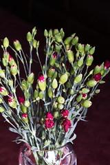 DSC_0866 Rose Buds (PeaTJay) Tags: flowers roses plants macro nature rose gardens fauna reading flora sigma indoors micro closeups berkshire rosebuds lowerearley nikond750