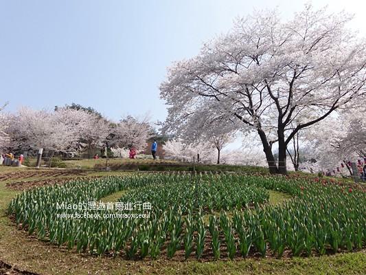 안산공원벚꽃22