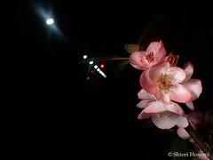 Chaenomeles speciosa (Shiori Hosomi) Tags: flowers plants japan night tokyo nocturnal nightshot april   rosales chaenomeles 2016  rosaceae     noctuary  flowersinthenight noctivagant 23