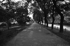 Bulevar Svetog Petra Cetinjskog bw (Nikola Danilovic) Tags: street trees blackandwhite tree nikon photographer gora montenegro nofilter nikond3200 crnagora podgorica crna