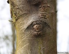 """Holzauge"" (pocket_eye) Tags: wood tree eye forest weird scary creepy"
