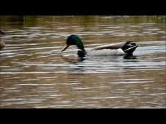 Blue-winged Teal (and Mallards) (aurospio) Tags: teal massachusetts ducks mallard audubon bluewingedteal massachusettsaudubon danielwebsterwildlifesanctuary