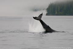 Whale Tail (fascinationwildlife) Tags: wild canada nature rain animal fog vancouver clouds forest mammal island bc wildlife tail natur columbia whale british humpback fluke wal kanada buckelwal
