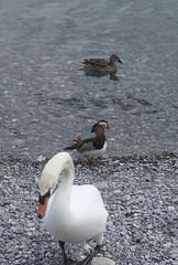 cygne tubercul  canard mandarin et canard colvert femelle (luka116) Tags: oiseaux animaaux animal aninals vevey lac eau eaux avril 2016 canard canards canardmandarin laclman