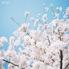 * (k) Tags: sakura hasselblad500cm filmkodakportra160