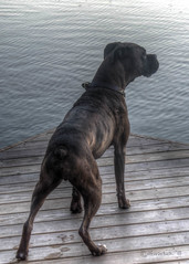 Rocco at Play (David Warlick) Tags: dog water dock nikon boxer fetch rocco mosslakenc