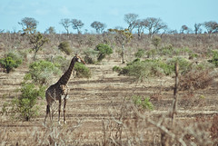 South african giraffe (Giraffa camelopardalis) (delimaaaaaaaaa) Tags: africa trip southafrica safari viagem krugerpark reserva gamereserve frica safri fricadosul