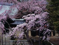 Union (Purple Field) Tags: flower color slr film japan analog 35mm walking cherry temple iso100 spring kyoto fuji velvia bronica    sakura    f40  100f nagaokakyo   etrsi rvpf  zenza  zenzanon    canoscan8800f    e150mm