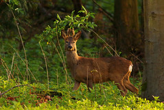 Roe Deer Buck (jammo s) Tags: trees nature forest woods wildlife deer roedeer canonef400mmf56lusm canoneos80d
