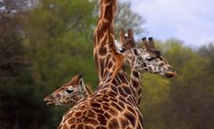 Hydra (Keith Mac Uidhir  (Thanks for 3.5m views)) Tags: ireland dublin animal zoo irland giraffe dier animalia tier dublino irlanda irlande ierland irska dubln irlandia lirlanda irsko  airija irlanti  cng  iirimaa ha     rorszg         rlnd