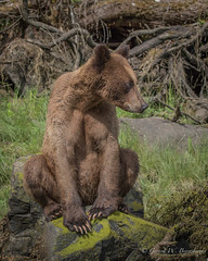 Grizzly Bear - Three Year Old (Turk Images) Tags: britishcolumbia bears mammals grizzlybear ursidae breedingseason ursusarctoshorribilis coastalrainforest khutzeymateengrizzlybearreserve ktzimadeengrizzlybearsanctuary greatrainforest maritimecoast