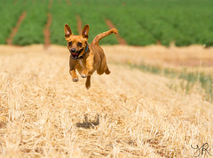 SuperDog (Yovel Rodoy) Tags: dog dogs nature animal animals israel nikon tamron 70200 d7100