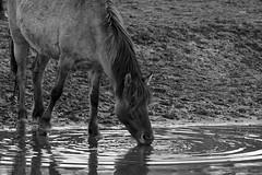 Wild Horses in black-and-white - Bathing - 2016-021_Web (berni.radke) Tags: horse pony bathing herd nordrheinwestfalen colt wildhorses foal fohlen croy herde dlmen feralhorses wildpferdebahn merfelderbruch merfeld przewalskipferd wildpferde dlmenerwildpferd equusferus dlmenerpferd dlmenpony herzogvoncroy wildhorsetrack