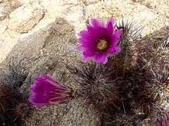 Hedgehog Cactus (h willome) Tags: california cactus desert hiking joshuatree wildflowers joshuatreenationalpark 2016 cottonwoodsprings