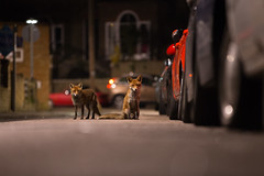 Fox Patrol - BWPA Highly Commended 2016 (- Alex Witt -) Tags: bwpa british wildlife photography awards 2016 highly commended show alex witt urban fox street london exhibition