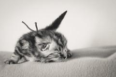 Dreamer (Petra Wendt) Tags: blackandwhite cat kitten olympus katze monochrom kater britishshorthair ktzchen bkh schwarzweis britischkurzhaar rni catmoments zuiko75300 em5markii omdem5markii