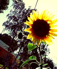 Sunflowers #flowers #nature #pictureholic #new #youngphotographer #meandmycamera #followme (miyaprince) Tags: new followme meandmycamera youngphotographer pictureholic