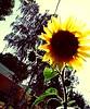 Sunflowers #flowers #nature #pictureholic #new #youngphotographer #meandmycamera #followme (miyaprince) Tags: new followme meandmycamera youngphotographer pictureholic
