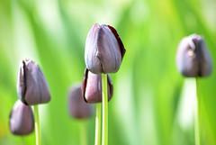 Tulip 2 (hall1705) Tags: flowers plant flower macro green public closeup garden purple westsussex tulip d3200