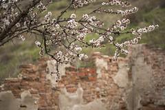 0514-2016-BR (elfer) Tags: madrid espaa flores paisaje ruinas almendros rivasvaciamadrid parqueregionaldelsureste