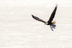 Bald Eagle With Breakfast (thomasbarbin) Tags: bird nature bc eagle wildlife gull birding bald victoria raptor 7d prey hunt haliaeetus leucocephalus cnon