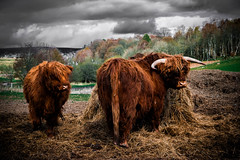 I'm not talking to you (morag.darby) Tags: nature field animal wow landscape scotland cow nikon cattle natural outdoor farm bull nikkor teatime highlandcattle dinnertime highlandcow d3300
