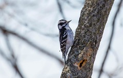 840A3054 (rpealit) Tags: bird nature river woodpecker scenery wildlife trail national waters winding downy refuge wallkill