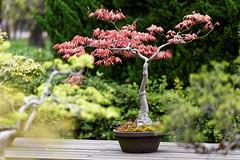 20160413-43-Bonsai at Kyoto Botanic Gardens (Roger T Wong) Tags: travel trees holiday japan kyoto bonsai botanicgardens 2016 canonef70200mmf4lisusm canon70200f4lis canoneos6d rogettwong