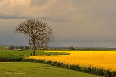Le colza en Beauce . (Hélène Quintaine) Tags: france gris ciel nuage avril printemps colza essonne orageux abigfave sudessonne