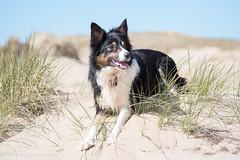 FAN_9009.jpg (Flemming Andersen) Tags: dogs water animal seaside spring outdoor hund hurup lodbjerg helligsvej hebojebi
