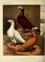 n273_w1150 (BioDivLibrary) Tags: pigeons fieldmuseumofnaturalhistorylibrary bhl:page=49799141 dc:identifier=httpbiodiversitylibraryorgpage49799141