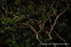 IMG_3745 (sullivan) Tags: nature animal dof bokeh taiwan sullivan            ef300mmf4lisusm   canoneos7d tawnyfishowl  ketupaflavipes      newtaipeicity     adobephotoshoplightroom5 suhaocheng