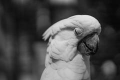 IMG_7135 (Welshmenphotos) Tags: friends portrait pets sun cute love nature photography grey amazon african wildlife feather kisses peacock cockatoo macaw parrots quaker conure birbs parronts