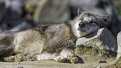 Wolf using a stone as pillow! (Tambako the Jaguar) Tags: sleeping portrait dog black rock stone germany zoo nikon wolf gray canine hannover canadian pillow resting hanover lying timberwolf d4 canid