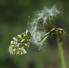 papillon (bulbocode909) Tags: nature fleurs vert printemps insectes papillons pissenlits