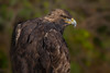 Golden eagle (Phiddy1) Tags: ontario canada birds eagle goldeneagle crc canadianraptorconservancy