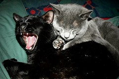 Cat Yawn (roadcat2016) Tags: friends feline nap catnap funnycat wakingup pethumor cathumor animallovers