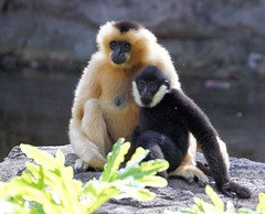 White-Cheeked Gibbon with Baby (greekgal.esm) Tags: orlando florida disney waltdisneyworld disneysanimalkingdom gibbon whitecheekedgibbon disneyak disneyanimals
