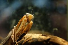 Mantis (danieljcoomber) Tags: macro london closeup mantis zoo prayingmantis londonzoo sigma105mm