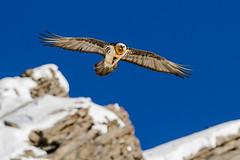 Lammergeier, holding on to a chamois leg (tomnierle) Tags: oiseaux rapaces gypatebarbu coldelagemmi0114