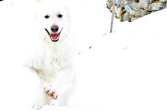 Happy snow monster (balu51) Tags: schnee winter dog white snow happy hiking running hund weiss rennen februar kuvasz freude 2016 graubnden frhlich winterwanderung ungarischerhirtenhund copyrightbybalu51