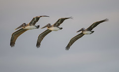 Tres Pelicanos (gapowell) Tags: pelicans flight select droh dailyrayofhope