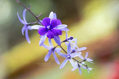 Petrea ~ flowers in the spring... (bw.futures) Tags: street flowers plant flower macro art canon butterfly catchycolors eos spring bright bokeh outdoor pastel paste 100mm depthoffield petal vietnam serene tet plantae saigon lunarnewyear flowerstreet petrea yearofthemonkey 2016 100mmf28 verbenaceae angiosperms brigh eudicots flowerscolors canonef100mmf28usm lamiales asterids almostanything bwfutures unlimitedphotos neonfoto facebookneonfoto flickrbwfutures lunarnewyear2016 springflowerfestival2016 nguyenhueflowerstreet2016 nguyenhueflowerfestival2016